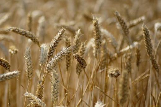 Растение пшеница