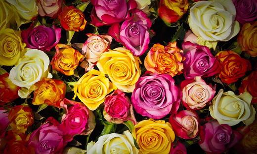 Свойства лепестков розы