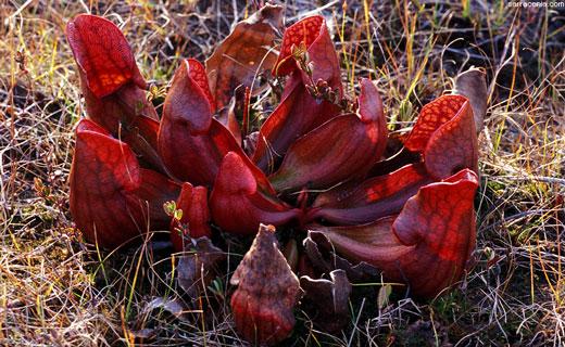 саррацения пурпурная