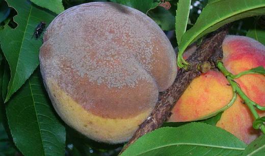 Серая гниль персика