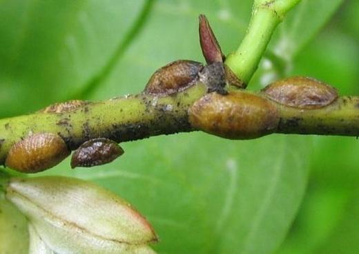 Щитовка на персике