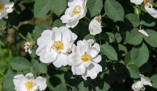 Белые цветки шиповника