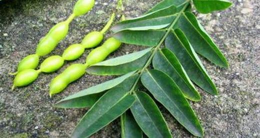 Плоды и листья софоры японской