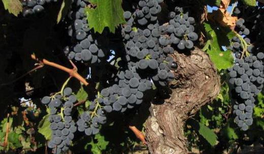 Виноград сорта Кариньян