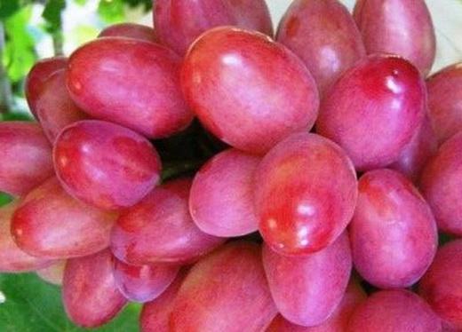 Виноград сорта Северный Саперави