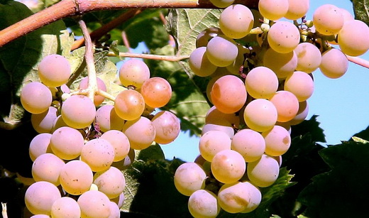 Виноград сорта Алан-3