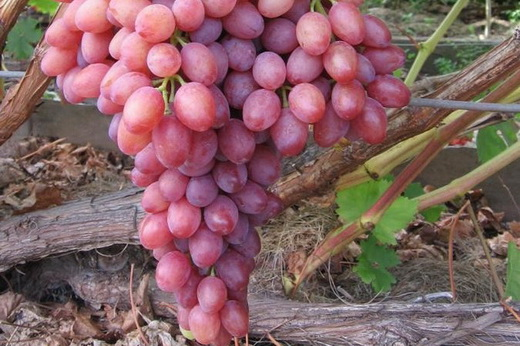 Виноград сорта Алина Запорожская