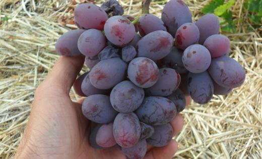 Виноград сорта Фран