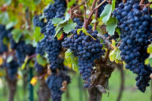 Виноград сорта Дольчетто
