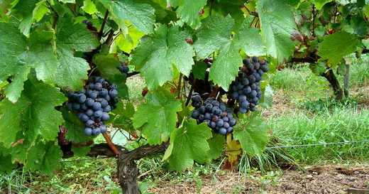Виноград сорта Гаме