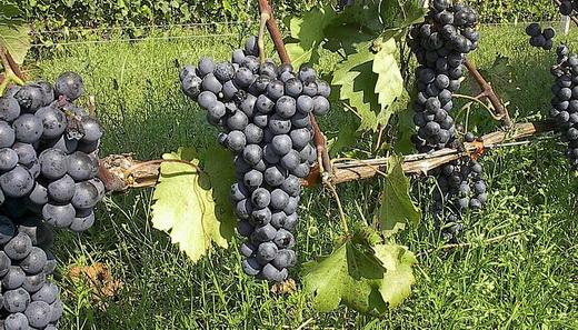 виноград ливадийский чёрный описание сорта фото
