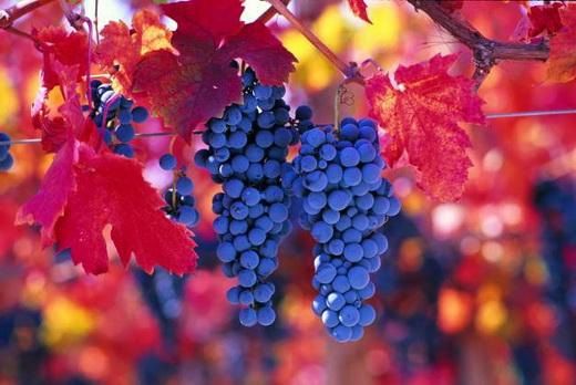 Виноград сорта Карменер