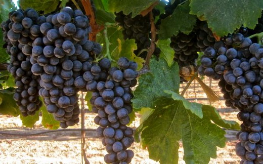 Виноград сорта Аликанте Буше