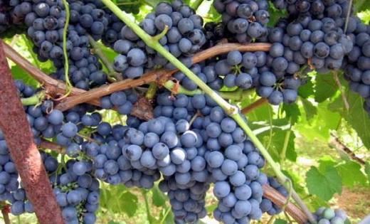 Виноград сорта Фестивальный
