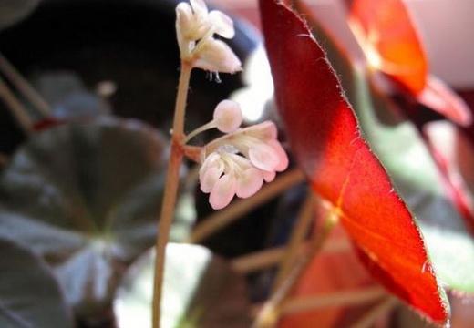 Бегония Erythrophylla