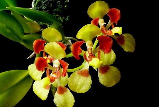 Орхидея Онцидиут