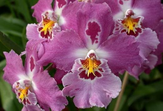 Орхидея Вайлстекара