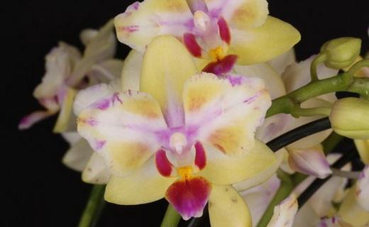 Орхидея Доритаенопсис