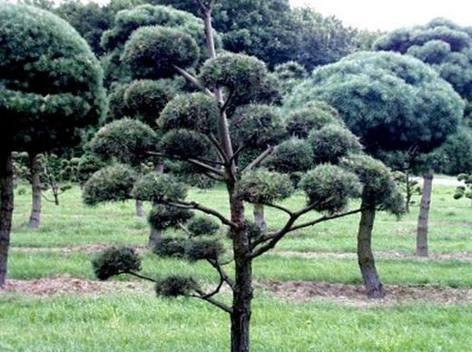 Дерево сосна обыкновенная