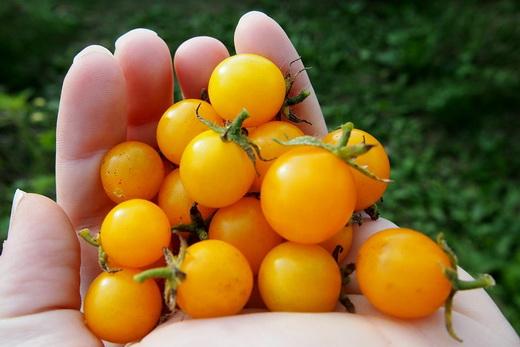 Спелые помидоры в Подмосковье