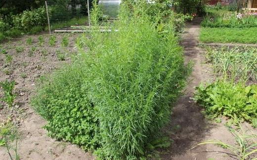 Эстрагон фото растения