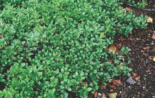 Растение толокнянка