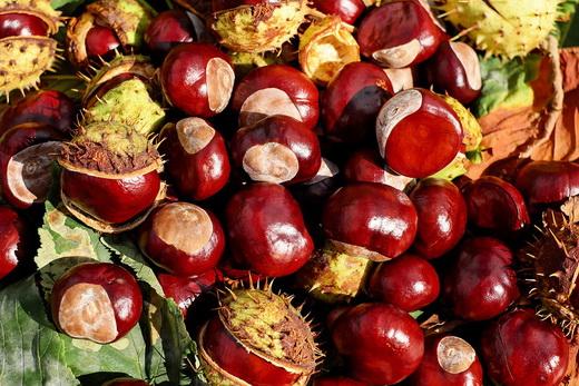 Спелые плоды каштаны