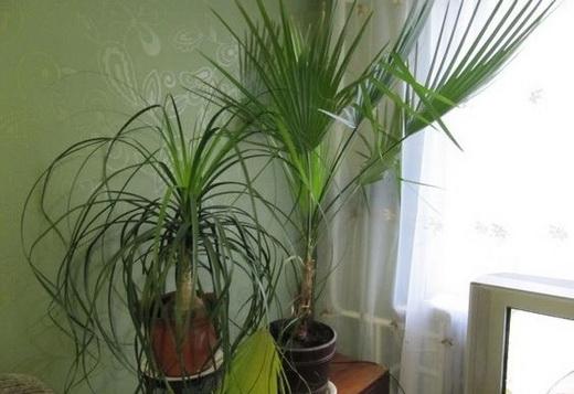 Выращивание вашингтонии в домашних условиях