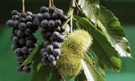 Виды винограда