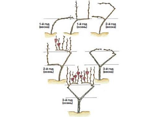 Веерное подвязывание и обрезка винограда