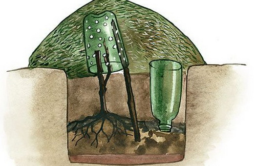 Посадка винограда черенком в открытый грунт