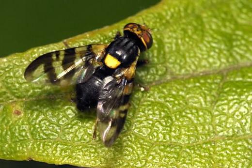 Вишневая муха на черешне