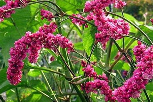 Растение водный перец