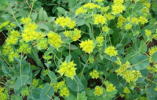 Растение володушка золотистая