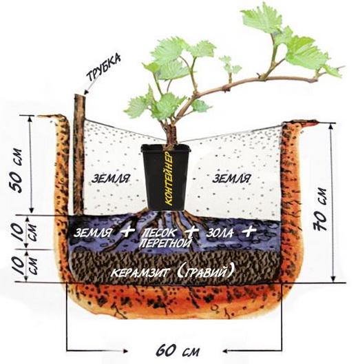 Правила посадки винограда в открытом грунте