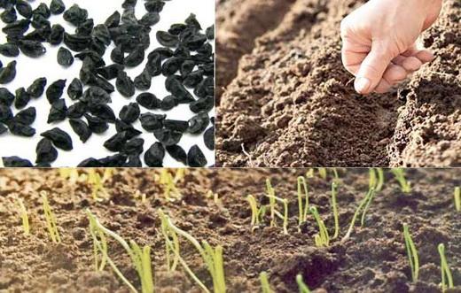 Когда сажать чернушку на севок в открытый грунт 11