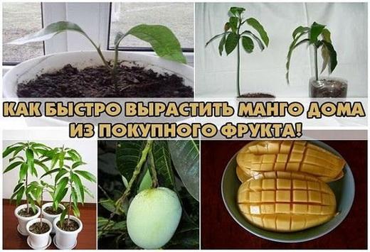 Как вырастит манго из косточки в домашних
