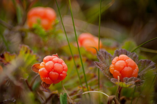 Спелая ягода морошка