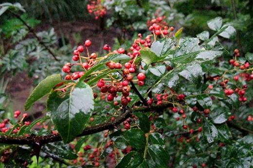 Растение Желтодревесник