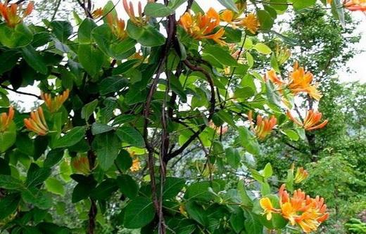 Свойства листьев и цветков жимолости